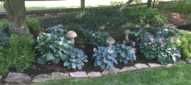 Toadstool Hostas 1